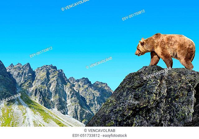 Brown bear in mountain landscape. Mengusovska Valley in Vysoke Tatry (High Tatras), Slovakia