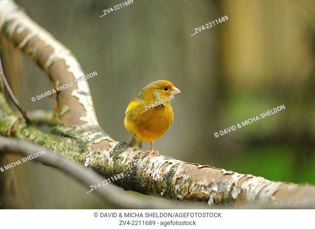Close-up of a Domestic Canary (Serinus canaria domestica) on a branch