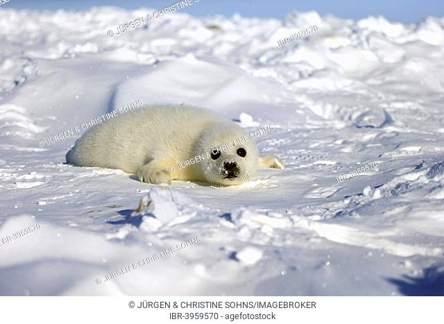Harp Seal or Saddleback Seal (Pagophilus groenlandicus, Phoca groenlandica), pup on pack ice, Magdalen Islands, Gulf of Saint Lawrence, Quebec, Canada
