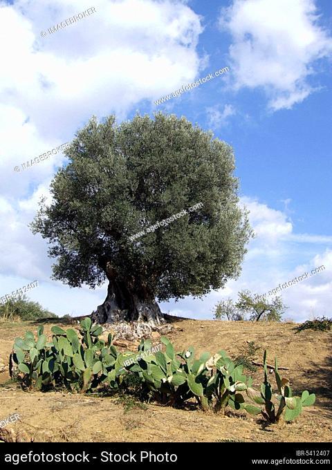 Old Olive tree (Olea europaea), Garten von Kolymbethra, valley of the temples, Agrigent, Sicily, Italy, Giardino della Kolymbetra, Agrigento, Europe