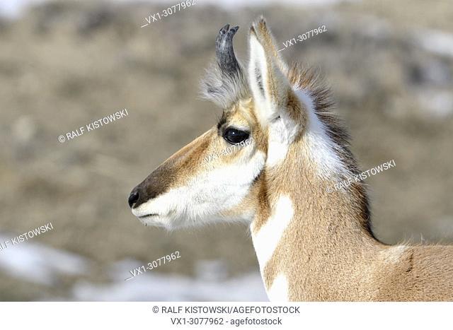 Pronghorn Antelope ( Antilocapra americana ) in winter, male, close-up of a buck, detailed headshot, Yellowstone NP, USA.