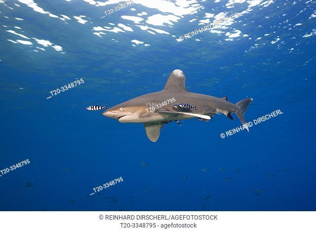 Oceanic Whitetip Shark, Carcharhinus longimanus, Atlantic Ocean, Bahamas