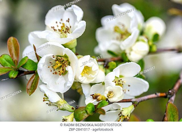 Chaenomeles speciosa 'Nivalis', white spring flowers of the Japanese quince