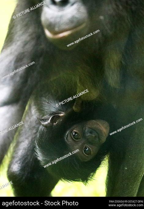 "04 June 2020, North Rhine-Westphalia, Cologne: The bonobo kitten """"Balina"""" hangs on the belly of its mother """"Binti"""". """"Balina"""" was born on 07.12"