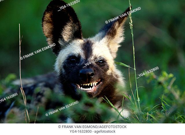 African Wild Dog Lycaon pictus eating grass Hluhluwe-Imfolozi Game Reserve, Kwazulu-Natal, South Africa