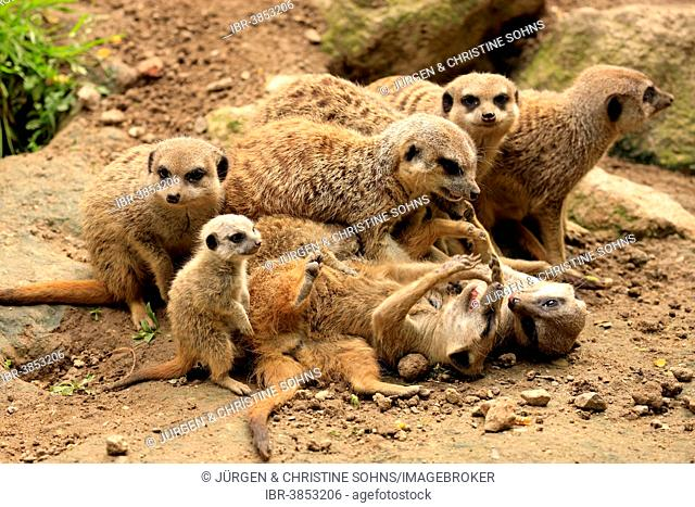 Meerkats (Suricata suricatta), clan, social behaviour, Germany