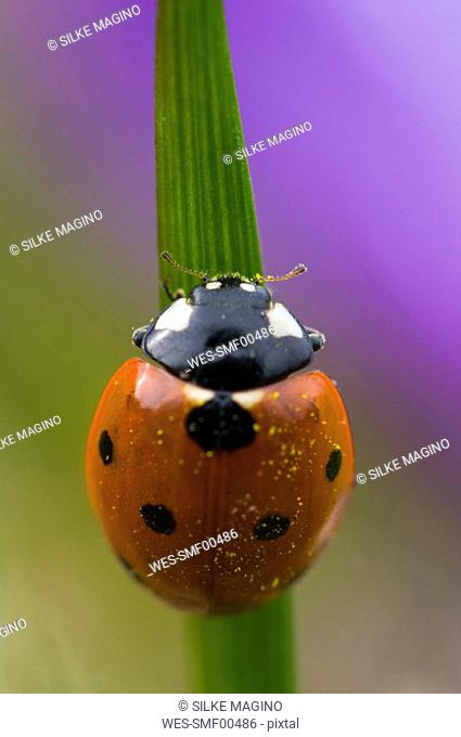 Germany, Baden W¸rttemberg, Ladybird Coccinela septumpunctata on blade of grass, close-up