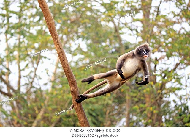 South east Asia, India,Tripura state,Phayre's leaf monkey or Phayre's langur (Trachypithecus phayrei) jumping