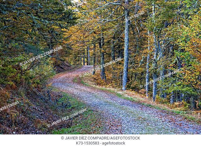 Beechwood. Picos de Europa National Park. Leon Province. Castilla y Leon. Spain