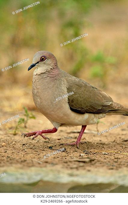 White-tipped Dove (Leptotila verreauxi), Rio Grande City, Texas, USA