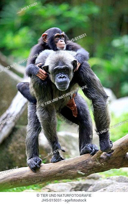 Chimpanzee, (Pan troglodytes troglodytes), young on mothers back, Africa
