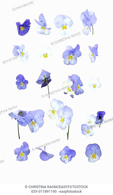 Blue pansy flowers design element arranged in rows isolated on white