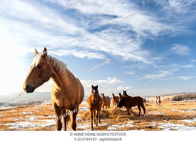 Herd of horses in winter, wide landscape in Rocky Mountains foothills, Alberta,Canada