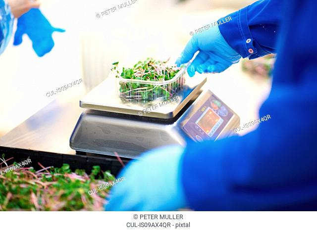 Cropped view of workers hands, wearing latex gloves weighing container of vegetables