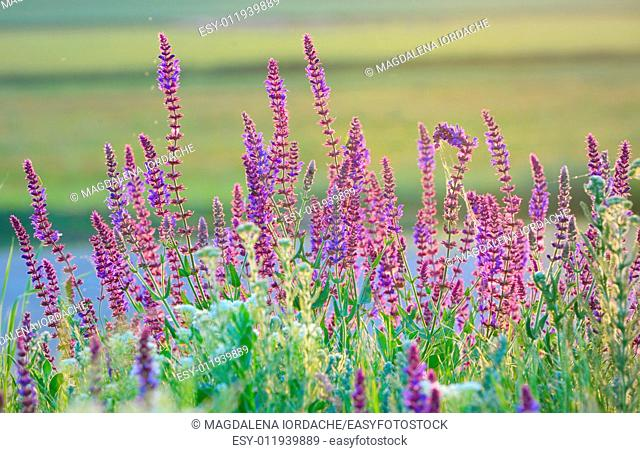 violet summer flowers on field