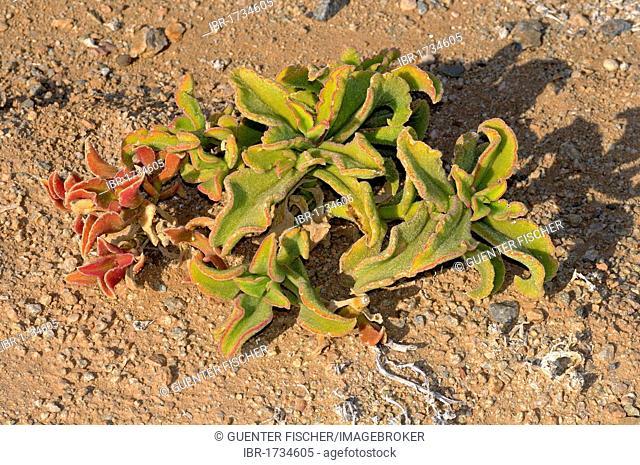 Mesembryanthemum guerichianum growing in its habitat, Richtersveld Transfrontier Park, South Africa