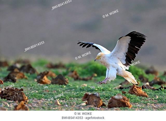 Egyptian vulture (Neophron percnopterus), landing on the ground, side view, Canary Islands, Fuerteventura