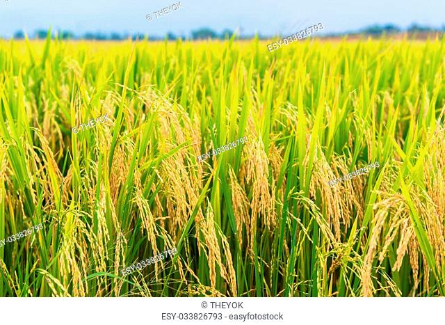 rice field, focus on the rice straws