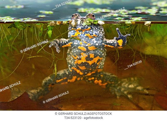 Fire-Bellied Toad. Bombina bombina. Schleswig-Holstein, Germany