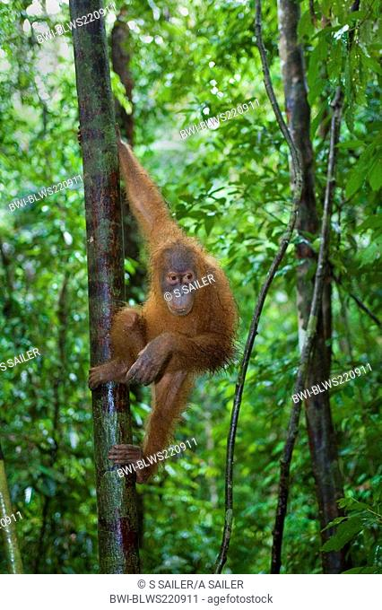 Sumatran orangutan Pongo pygmaeus abelii, Pongo abelii, young one hanging lazily in the trees of a sumatran rainforest, Indonesia, Sumatra