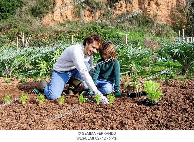 Father and son planting lettuce seedlings in vegetable garden