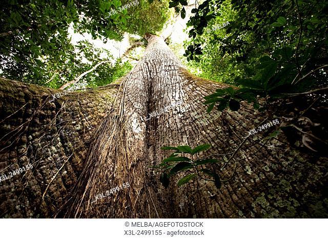 Samauma tree, Croa, Brazil, Amazonas