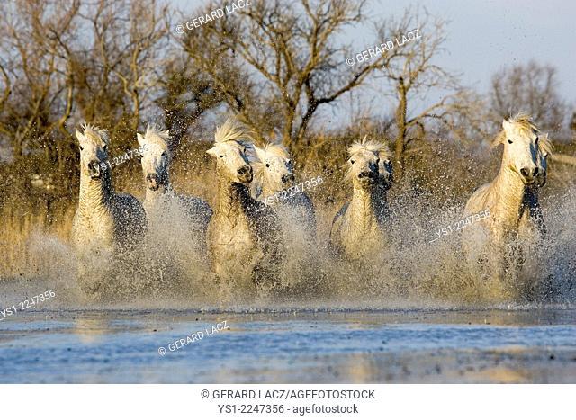 Camargue Horses, Herd standing in Swamp, Saintes Marie de la Mer in the South of France