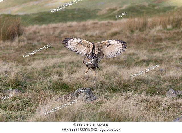 Eurasian Eagle Owl (Bubo bubo) adult, flying over moorland, Peak District, Cumbria, November, controlled subject