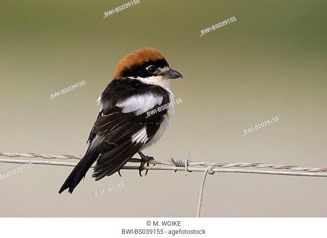 woodchat shrike (Lanius senator), on a fence, Spain, Andalusia