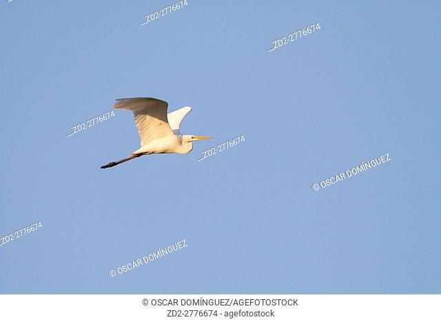 Great Egret (Ardea alba) in flight. Milicz Ponds Nature Reserve. Lower Silesia. Poland
