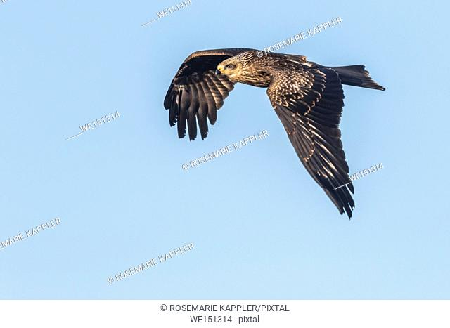 A black kite in flight is searching for fodder