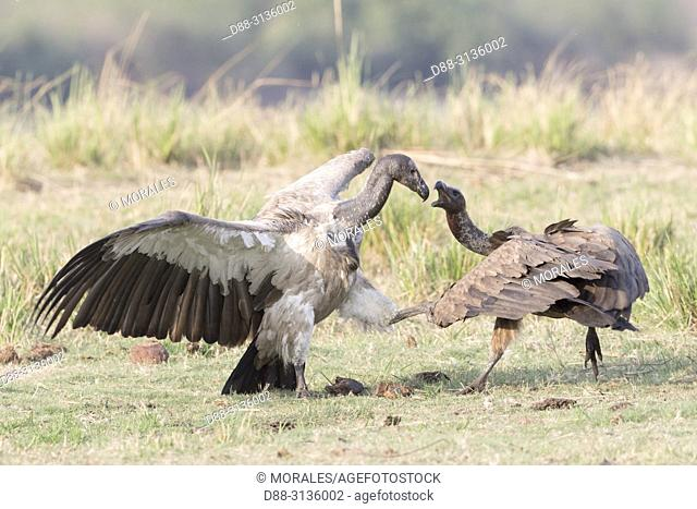 Africa, Southern Africa, Bostwana, Chobe i National Park, Chobe river, White-backed vulture (Gyps africanus), dispute between adults