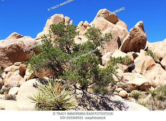 Mesquite trees, yucca and scrub brush growing in unique rock formations at Hidden Valley Picnic Area Trail in Joshua Tree National Park, Twentynine Palms