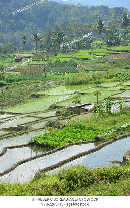 Rice Fields in Flores, Indonesia, South East Asia