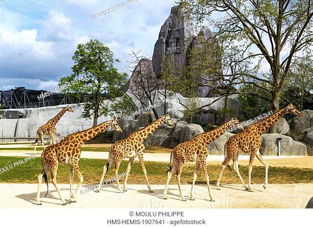 France, Paris, Paris Zoological Park (Zoo de Vincennes), group of giraffes (Giraffa camelopardalis) in the Sahel-Sudan biozone