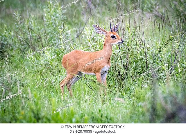 A young steenbok at Etosha National Park, located in Namibia, Africa