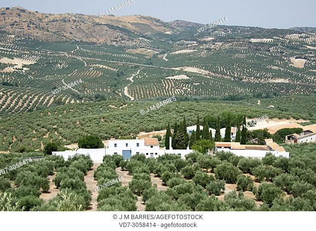 Olive grove (Olea europaea europaea). Olive is a perennial tree native to Mediterranean Basin. Its fruits are edible and provide an excellent oil