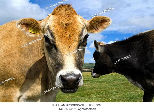 Two Jersey cattle, one looking towards the camera, one looking for grass