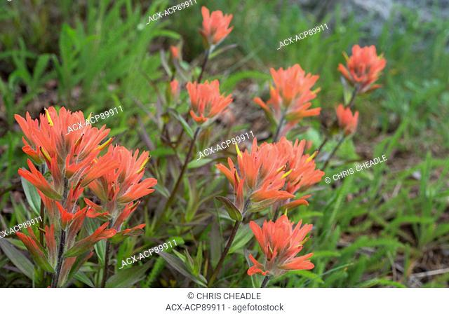 Indian Paintbrush (Castilleja sp.), Clayoquot Island Preserve, or Stubbs Island, near Tofino, British Columbia, Canada