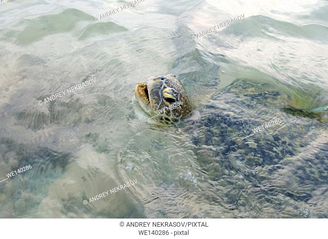 green sea turtle, green turtle, black sea turtle, or Pacific green turtle (Chelonia mydas) makes inhale floating on the water surface in shallow water
