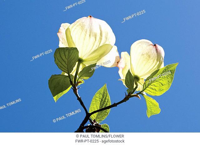 Cornus kousa, Dogwood, Flowering dogwood