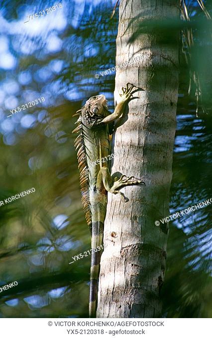 Iguana on a palm tree