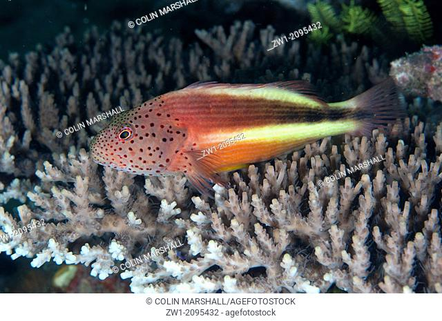 Freckled hawkfish (Paracirrhites forsteri) on coral, Mike's Point, Dampier Straits, Raja Ampat, West Papua, Indonesia