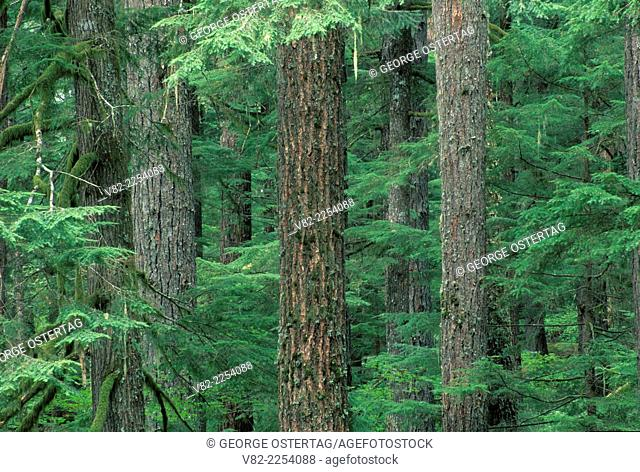 Ancient forest on Alder Flat Trail, Clackamas Wild & Scenic River, Mt Hood National Forest, Oregon