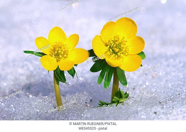 Winter Aconite (Eranthis hyemalis) in snow. Bavaria, Germany