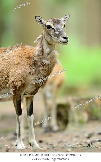 Close-up of a mouflon (Ovis orientalis orientalis) standing in a forest in spring