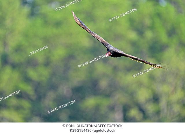 Turkey Vulture (Cathartes aura) soaring, Petit Jean State Park, Arkansas, USA