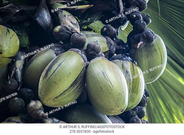 Coco de mer (Lodoicea maldivica) palm tree. Tree flower produces world's largest seed. Victoria Botanical Garden, Mahé, Seychelles