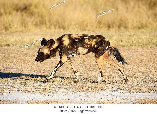 African wild dog (Lycaon pictus) walking. Moremi National Park, Okavango delta, Botswana, Southern Africa