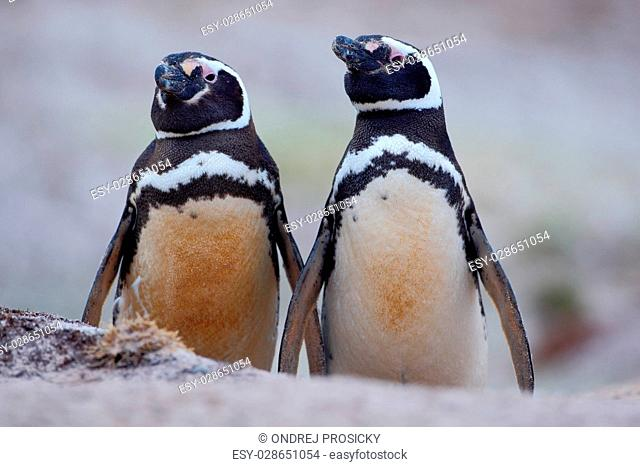 Two dirty bird in the ground hole, Magellanic penguin